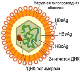 типы антигенов гепатита В