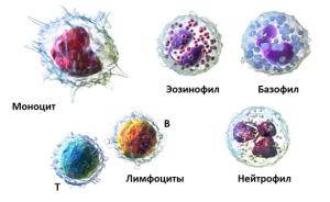 Лейкоциты включают в себя 5 видов клеток