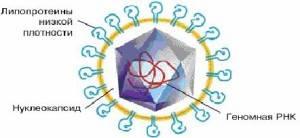 Схема строения вириона вируса гепатита С