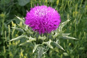 Расторопша — это лекарственное растение, которое издавна применялись в народной медицине для лечения патологий печени